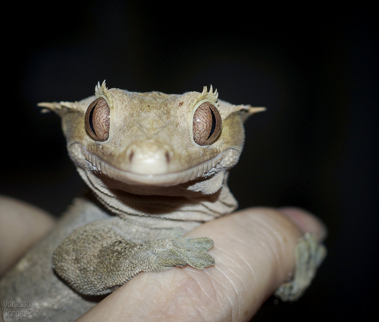 Ajax the Crested Gecko