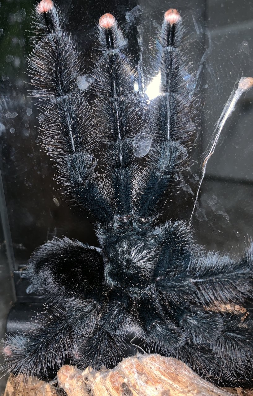 Any ideas why several T's are molting at the same time? A. Avicularia M1 Now a MM