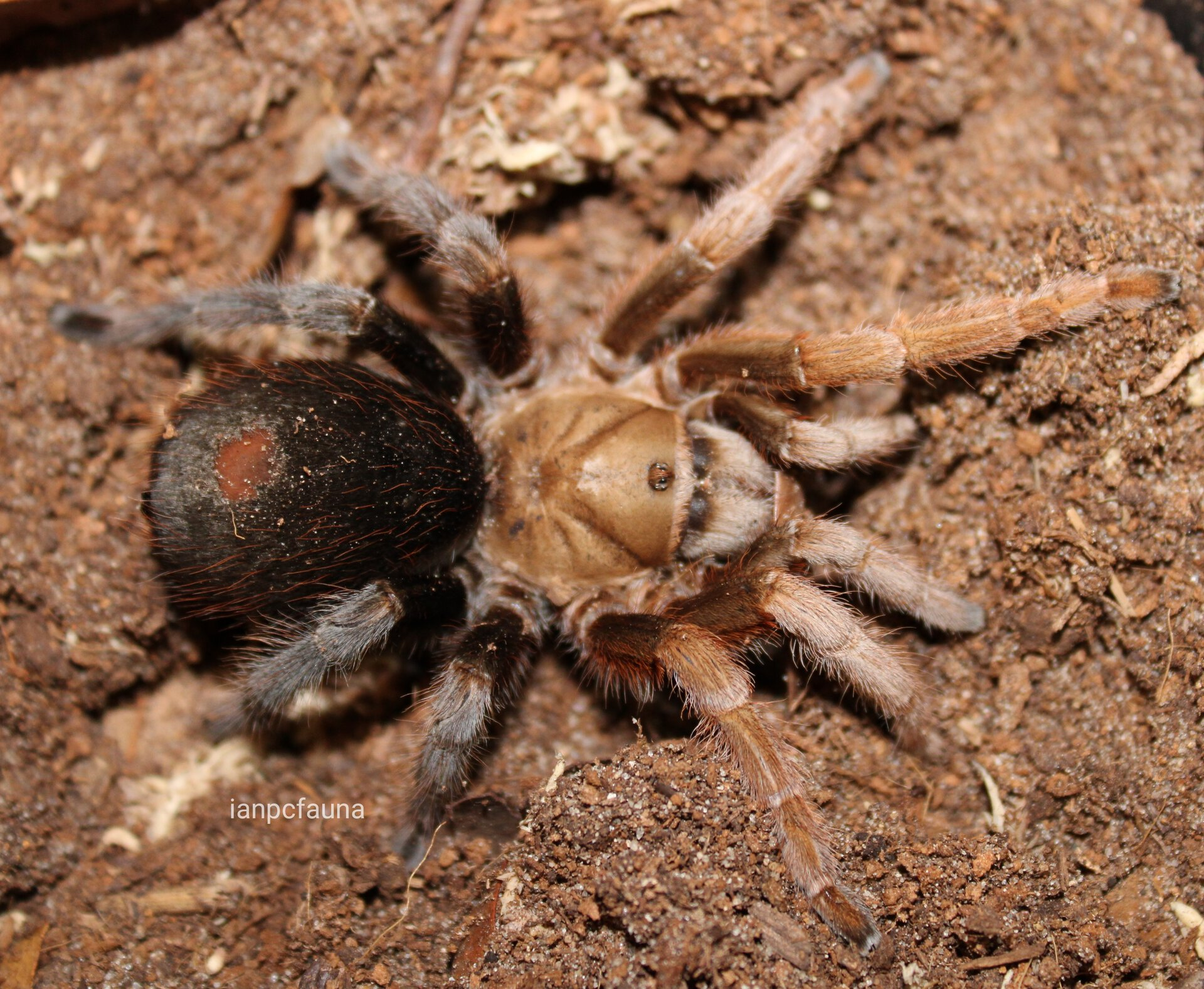 "Aphonopelma sp. ""diamondback"" - 0.1"