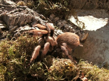 "Aphonopelma Sp. ""New River"""