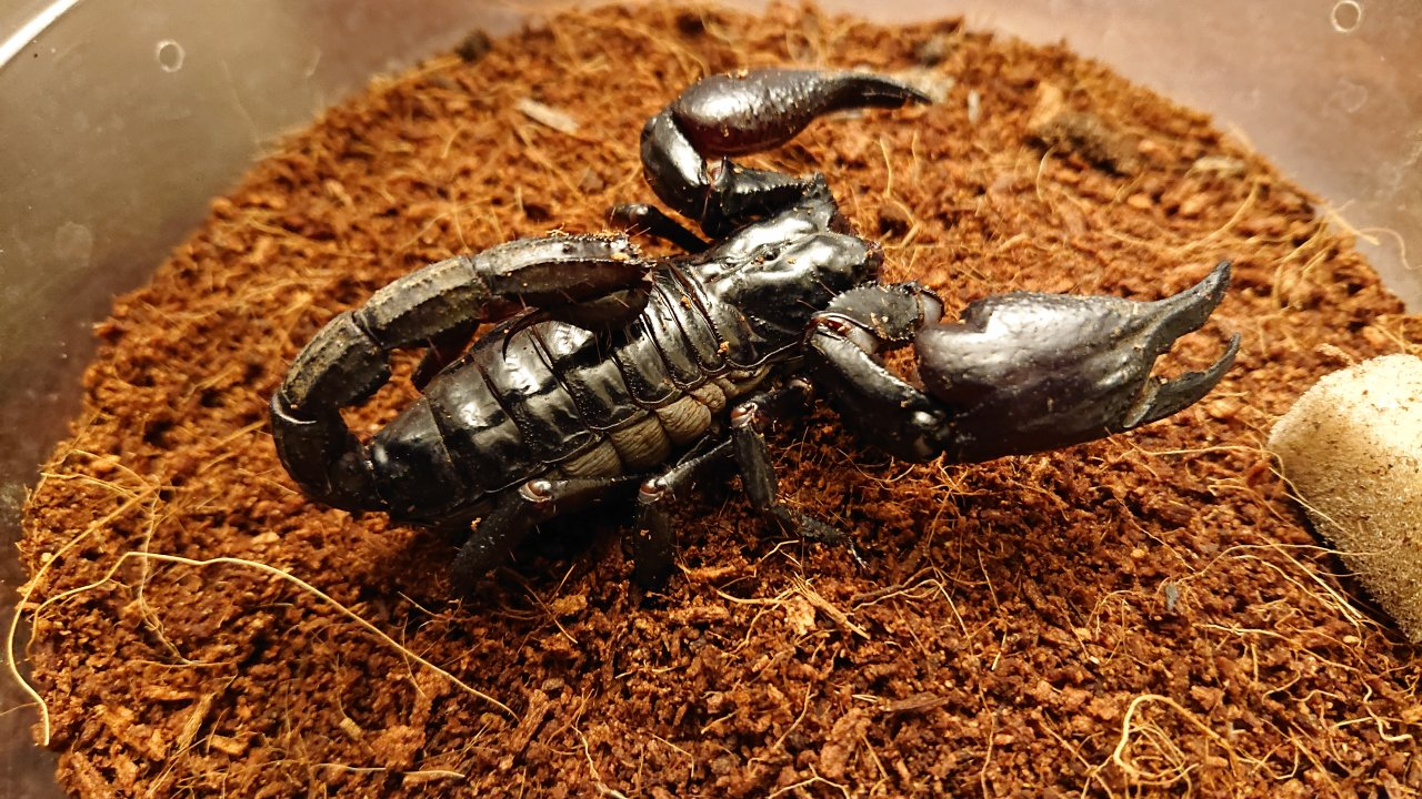 Asian Forest scorpion ID