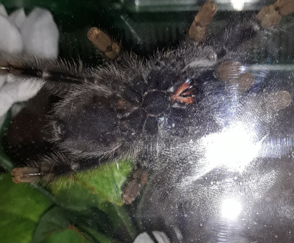 Avicularia avicularia [ventral sexing]