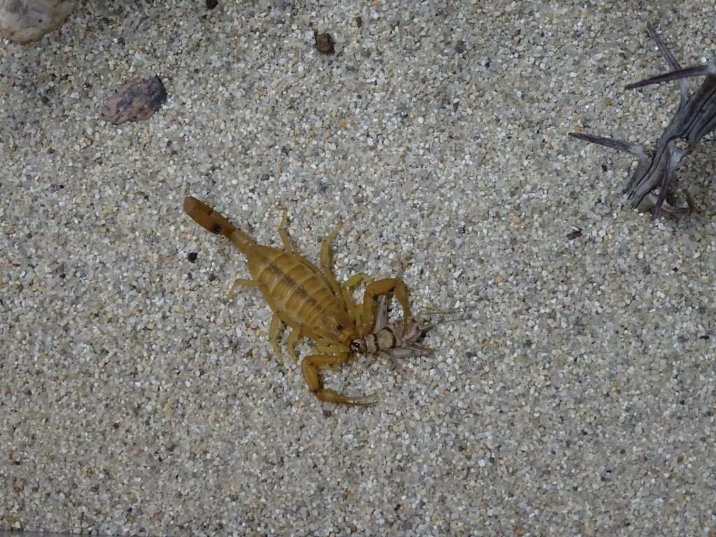 Arizona Bark Scorpion Mycosis? | Arachnoboards