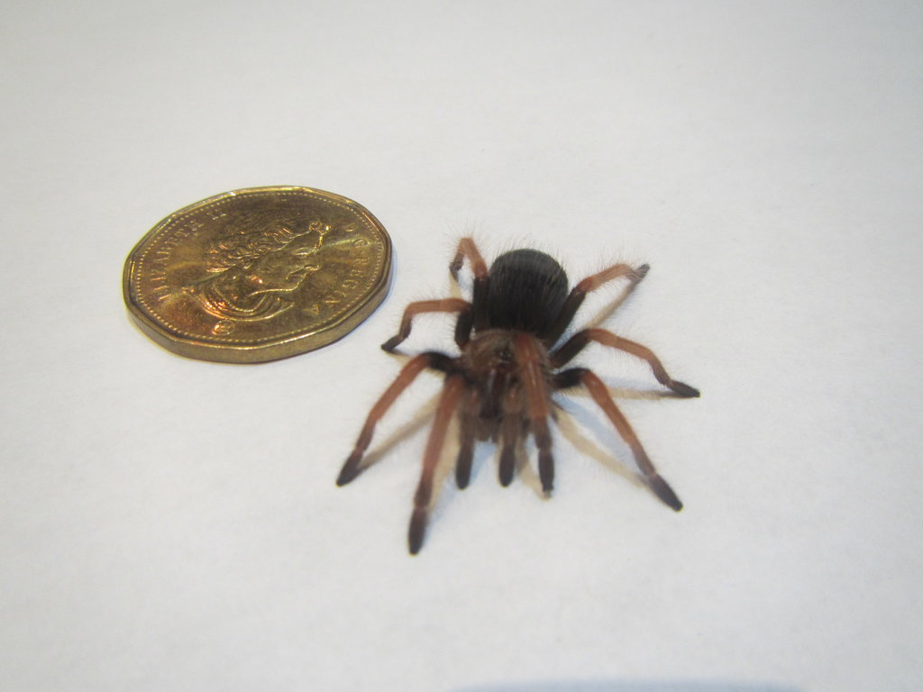 Spider list with time stamps: bboehmei 0:00 c cyaneopubescens 0:25 b vagans 0:38 g pulchripes 1:53 g rosea 2:06