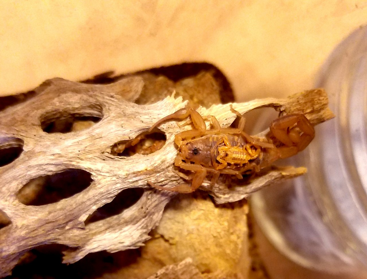 bb baja bark scorpion