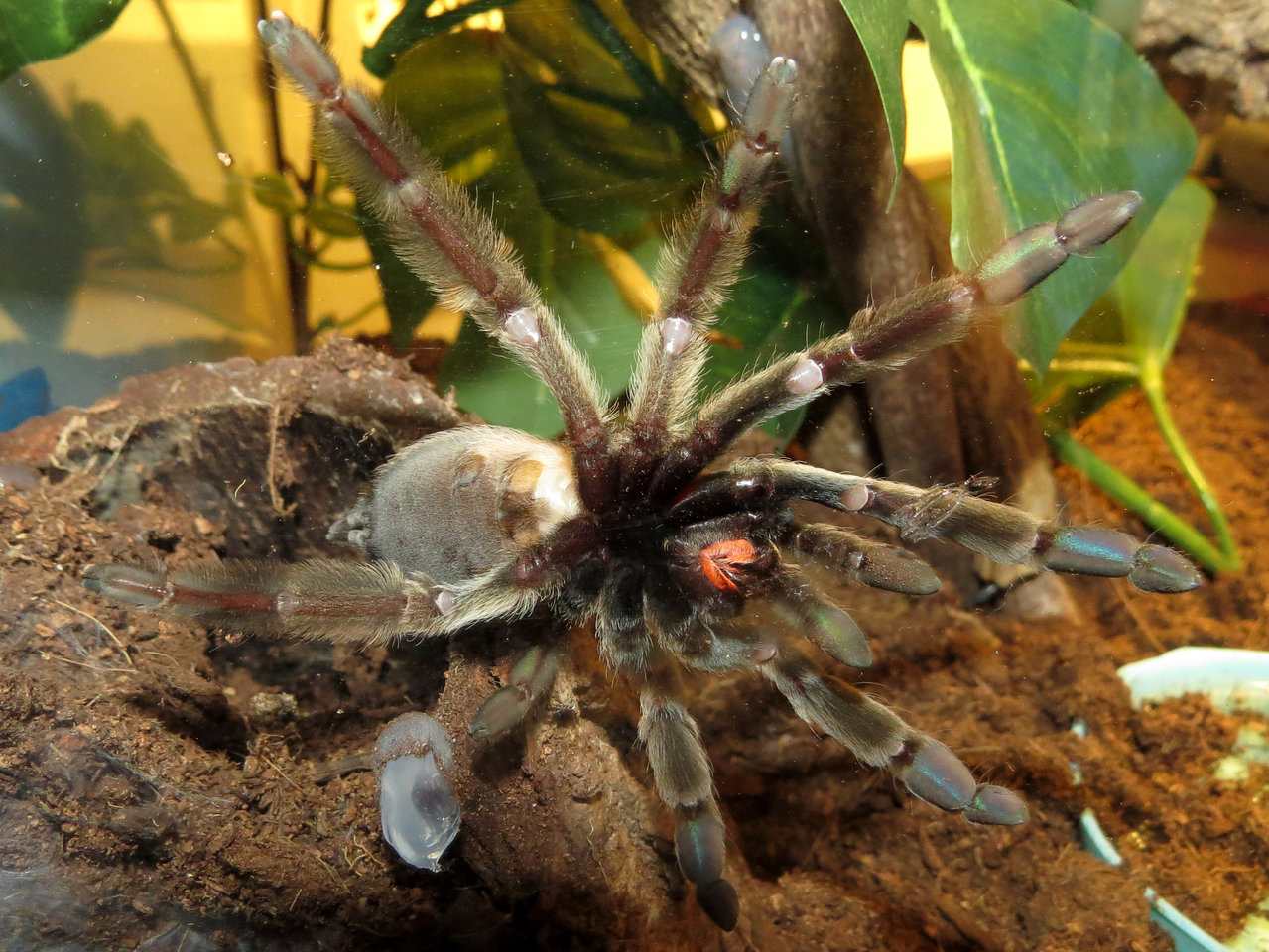 "Bellyache (♀ Psalmopoeus cambridgei 4.5"")"