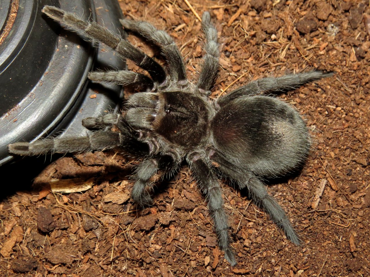 "Big Beautiful Bulldozer (♀ Grammostola pulchra 3.5"")"