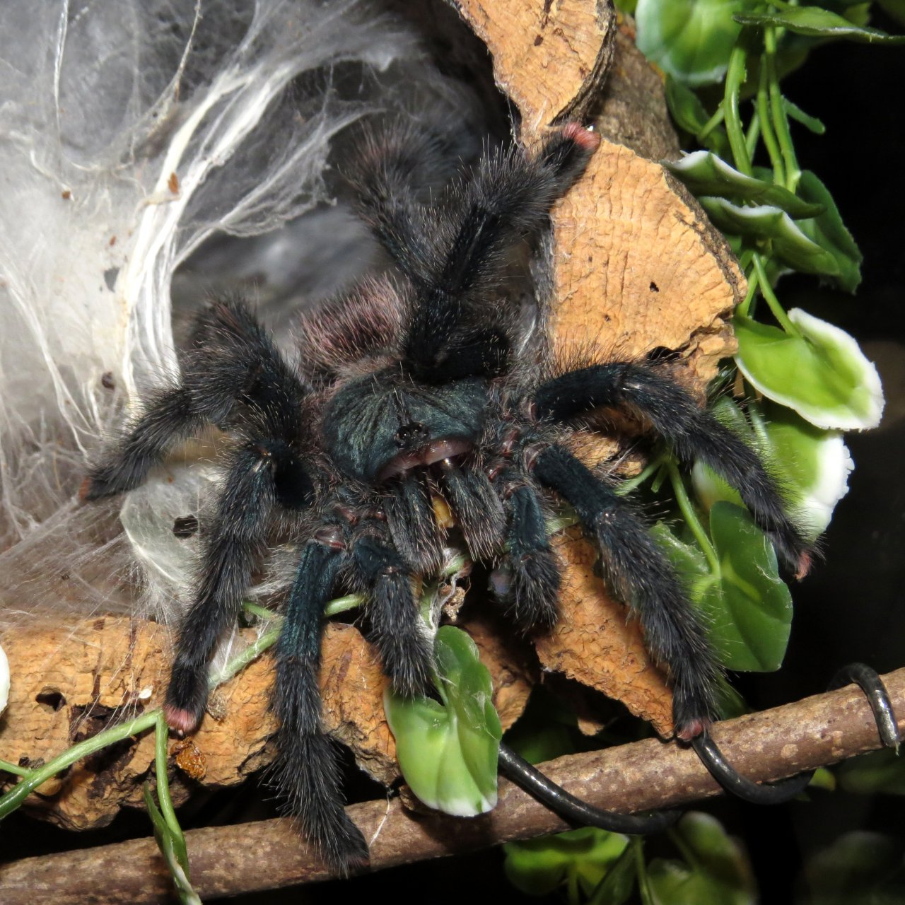 "Breaking the Fast (♀ Avicularia avicularia 5"")"