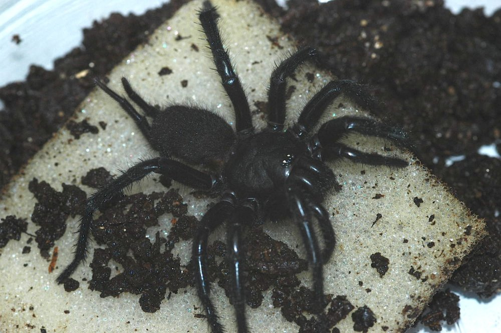rare spiders of china - 1000×665