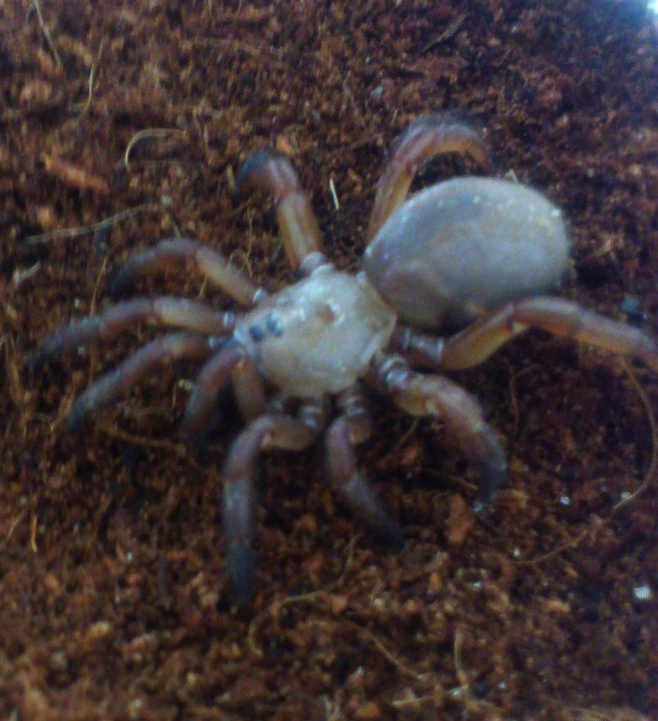 Ctenolophus Red Trapdoor Arachnoboards