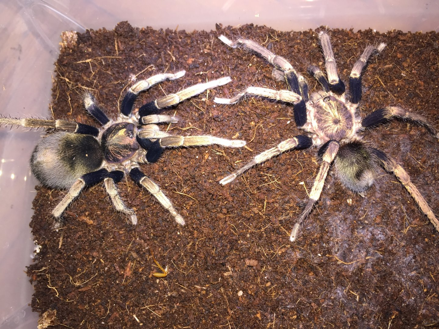 Cyclosternum sp. machalla pair