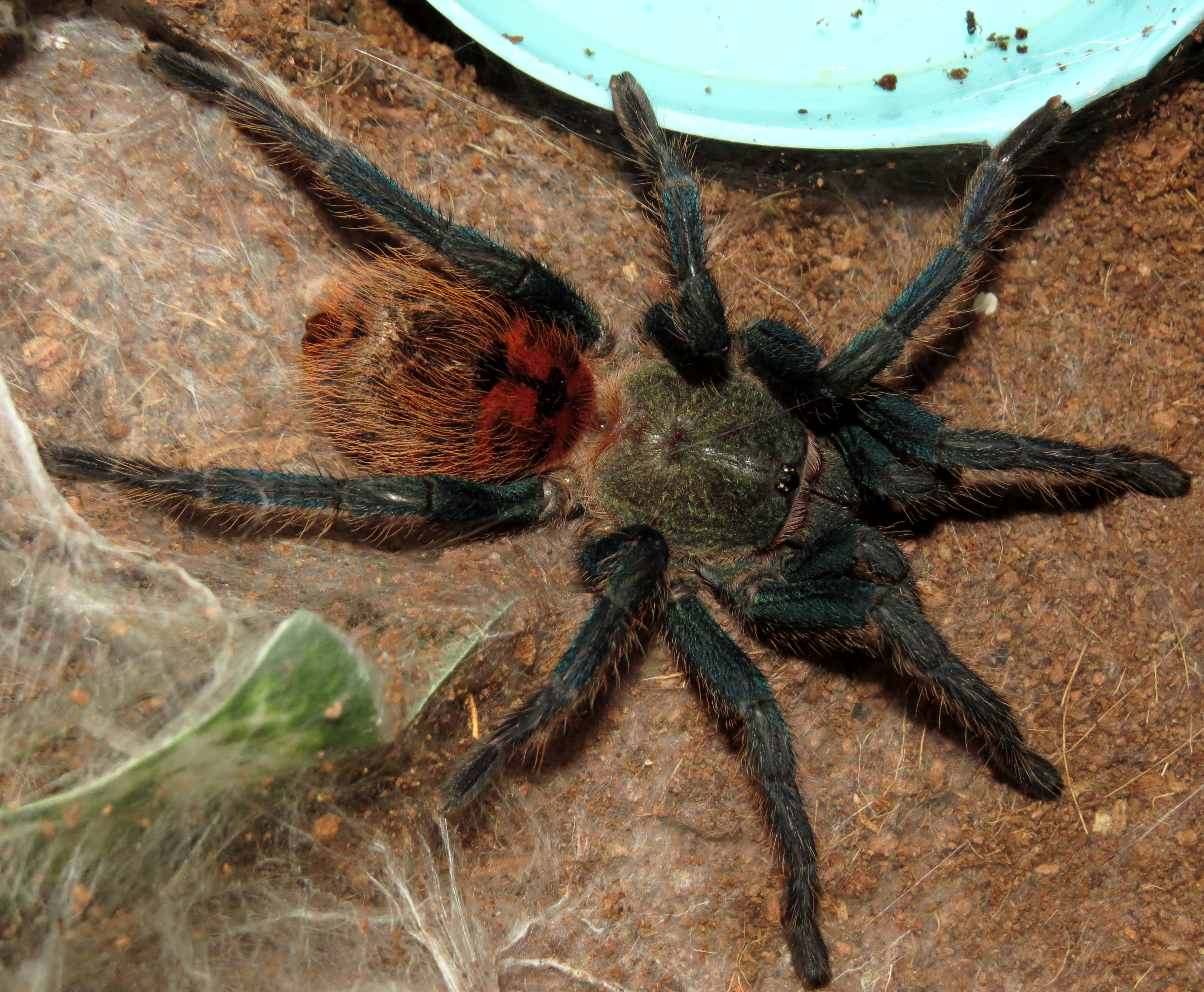 "Dark and Handsome (♂ Chromatopelma cyaneopubescens 3.5"")"