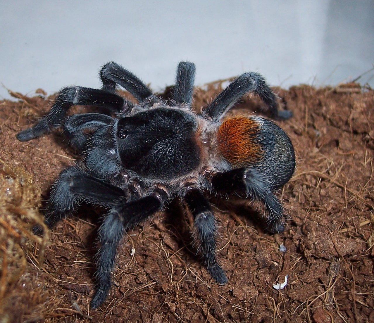 E. sp. Red, Adult Female eating, 1 of 2.