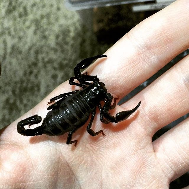 Did I Buy Emperor Scorpions or Asian Forest? Need Help