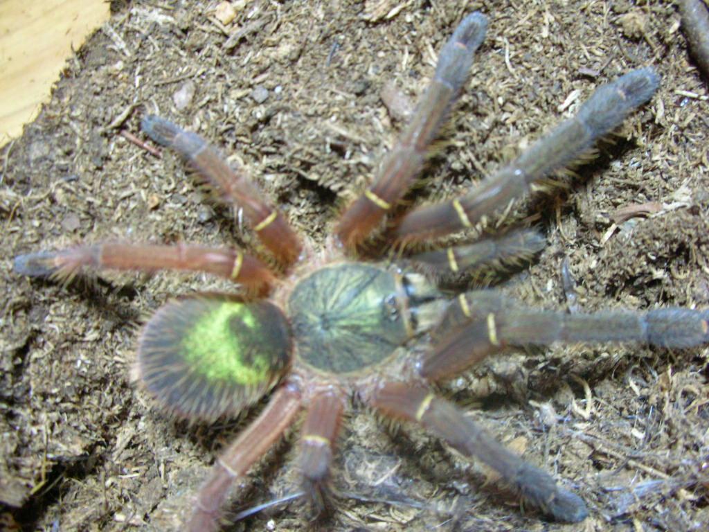 1000  images about Pet - Arachnid on Pinterest | Singapore, Cobalt ...
