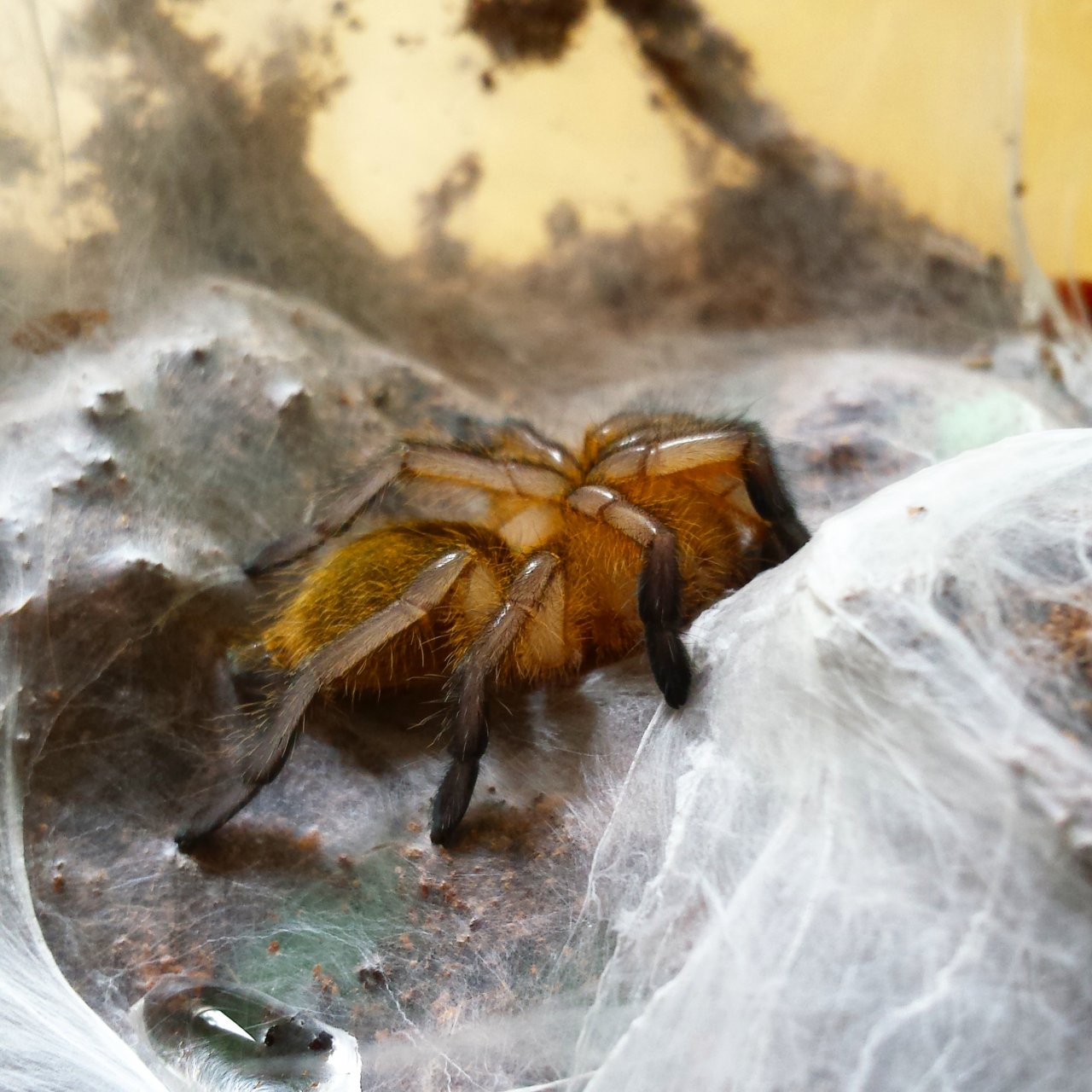 Freshly Molted... H. pulchripes