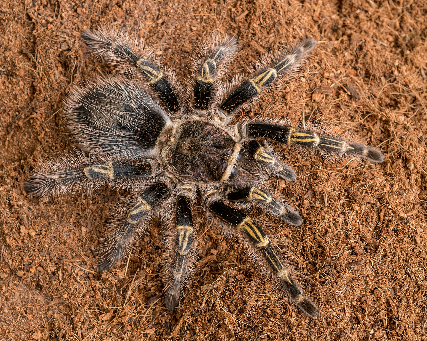 G. pulchripes female (Legs)