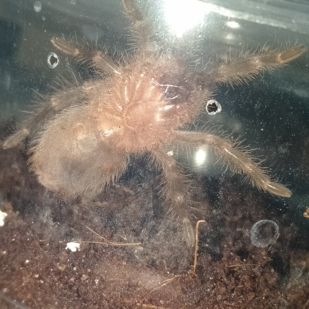 G. Pulchripes sling
