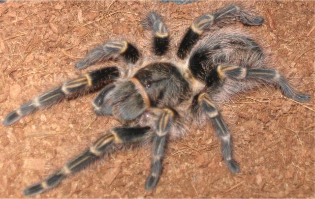 G.pulchripes