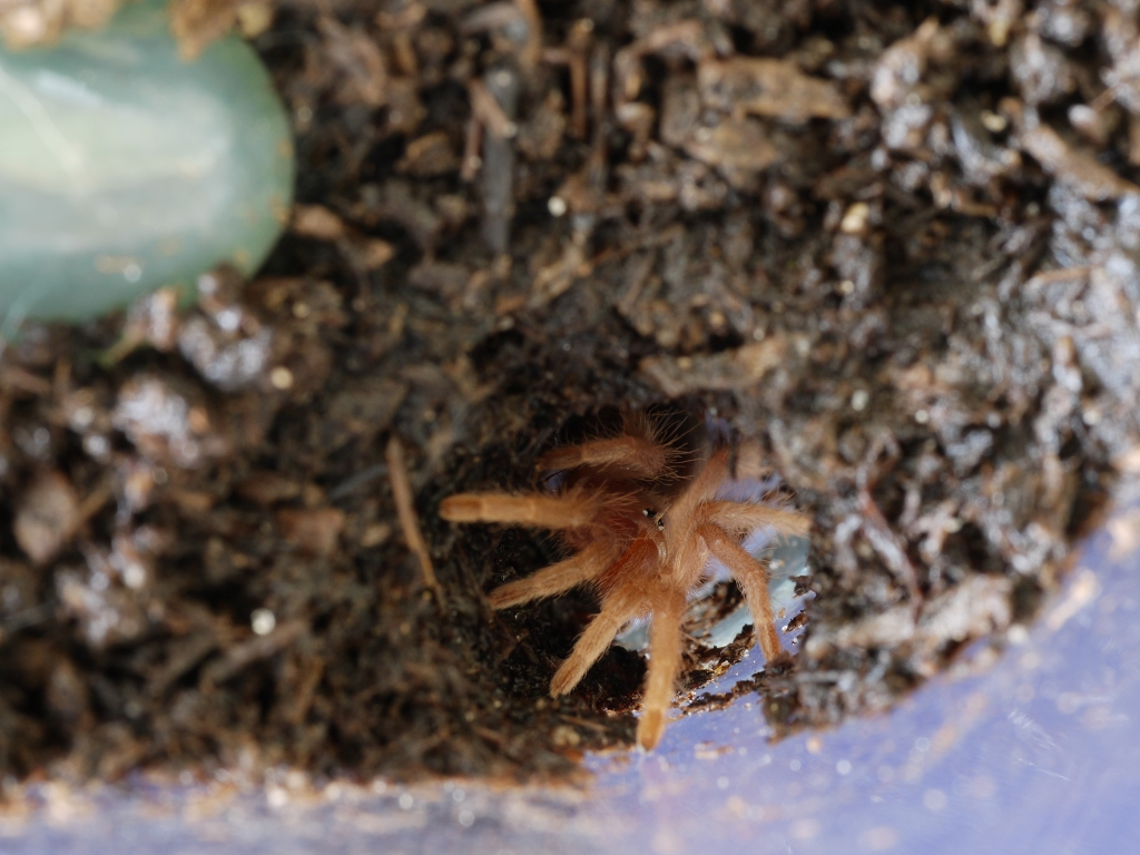 G. Pulchripes