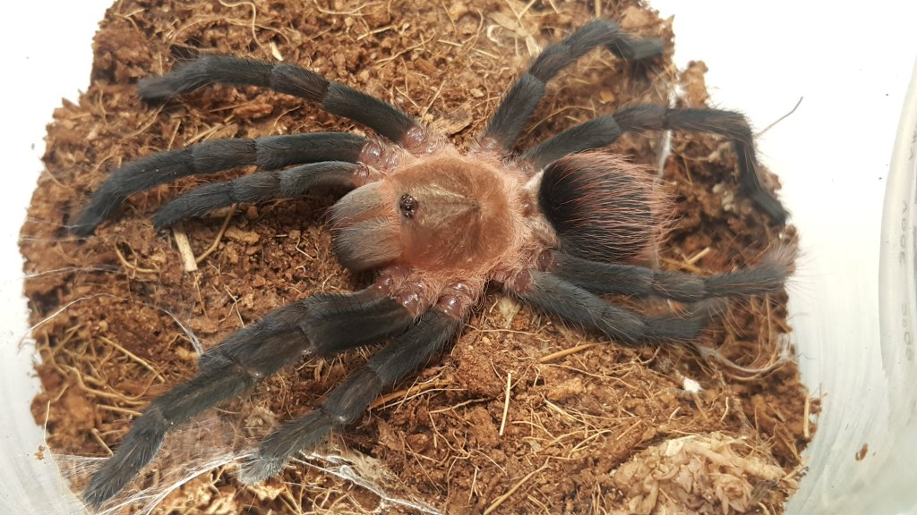 Gigas stretching out after molting