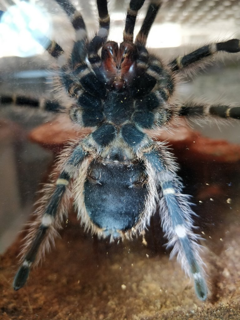 Grammostola pulchripes sexing