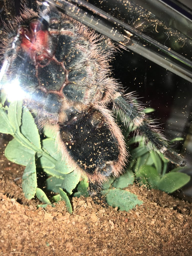 Grammostola pulchripes [ventral sexing]