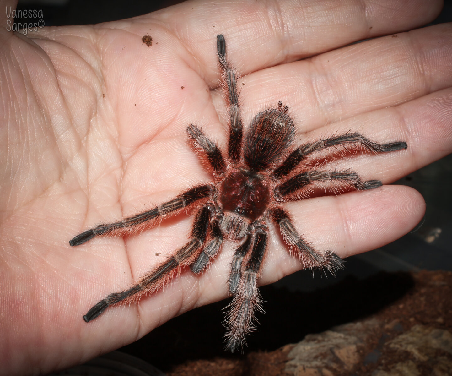 Grammostola rosea Mature Male