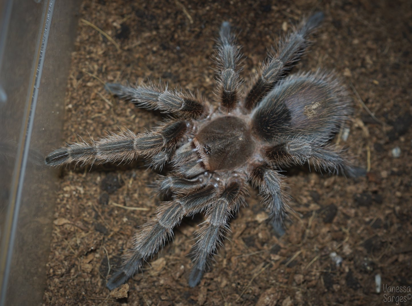 Grammostola sp. Concepcion Juvenile Male