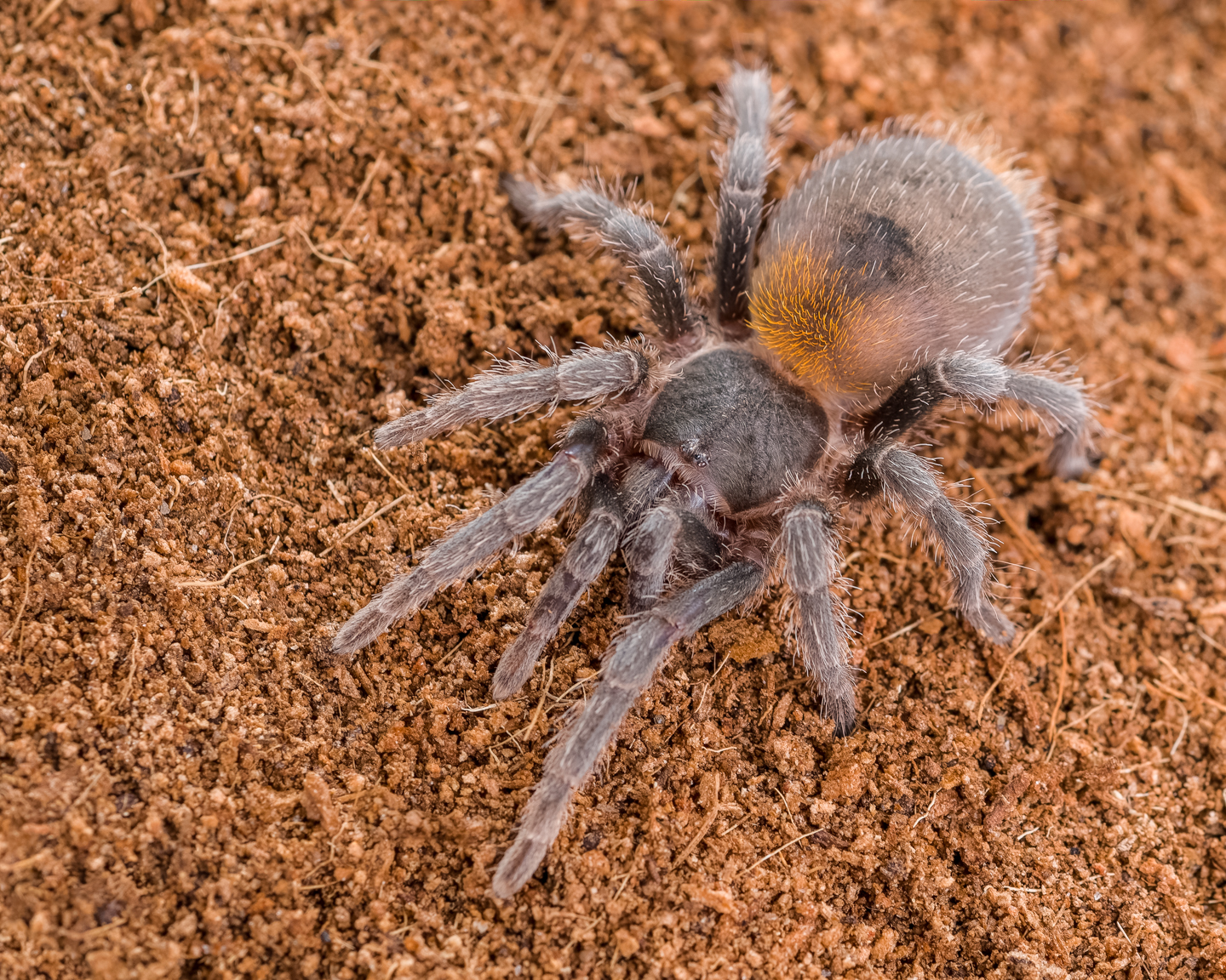 H. chilensis female (Fidget)