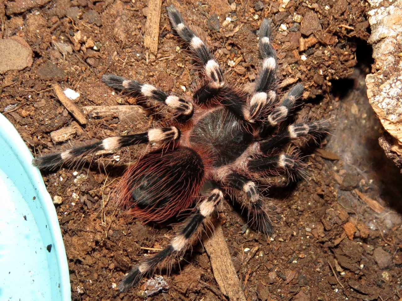 "Handsome Boy (♂ Acanthoscurria geniculata 3"")"