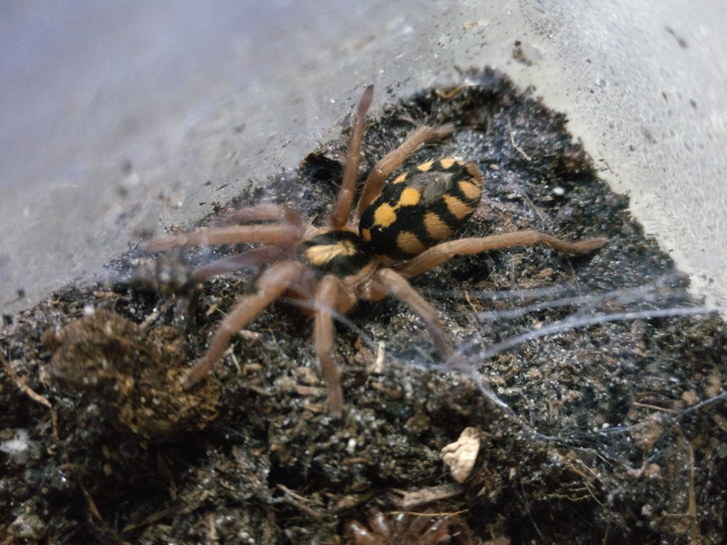 "Hapalopus sp. ""Colombia"""