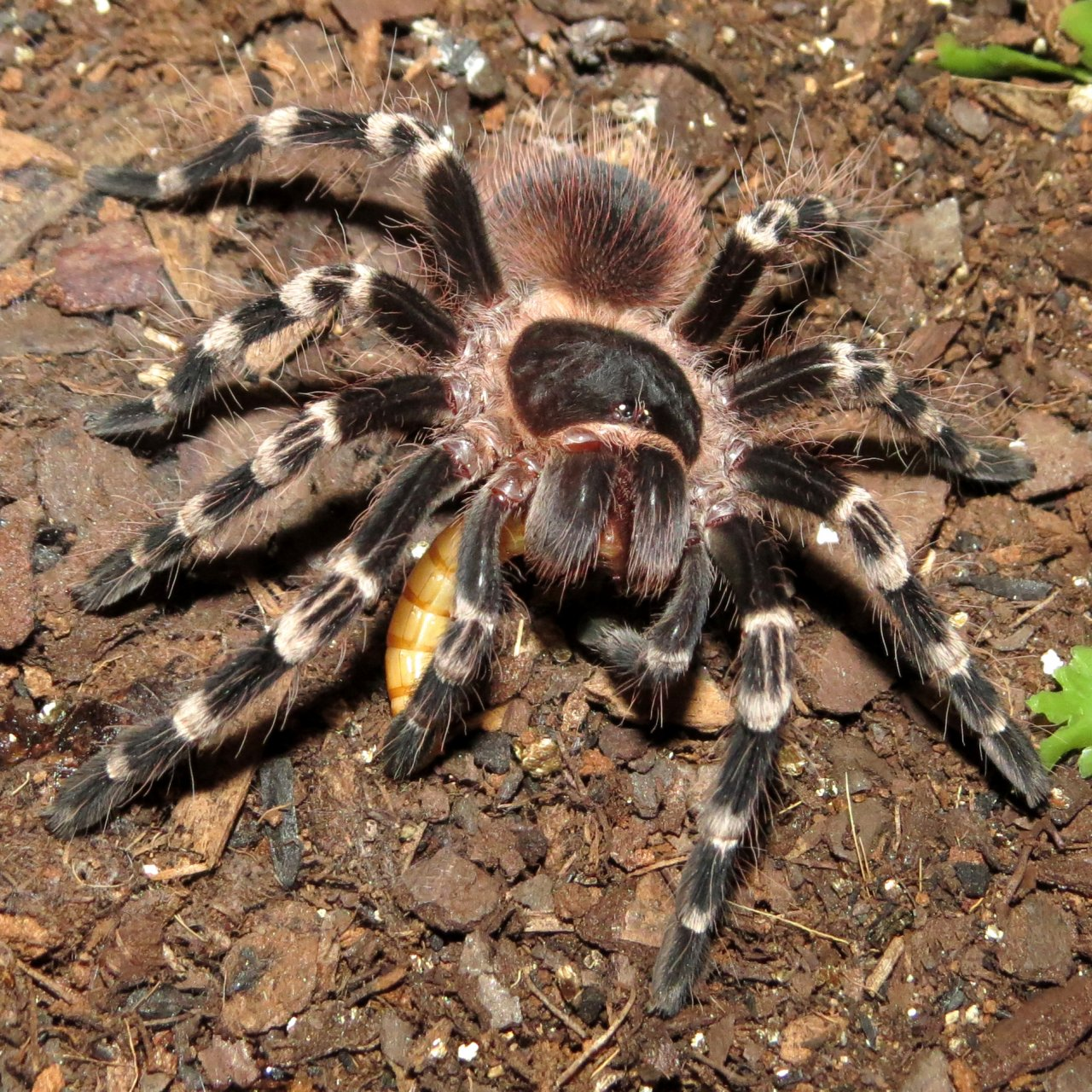 "Happiness Is a Mealworm (♂ Acanthoscurria geniculata 3"")"