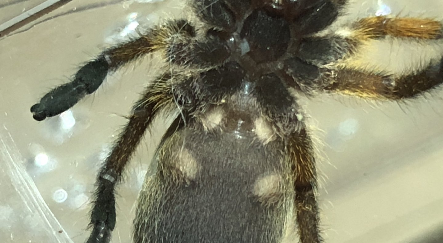 Harpactira pulchripes [ventral sexing]