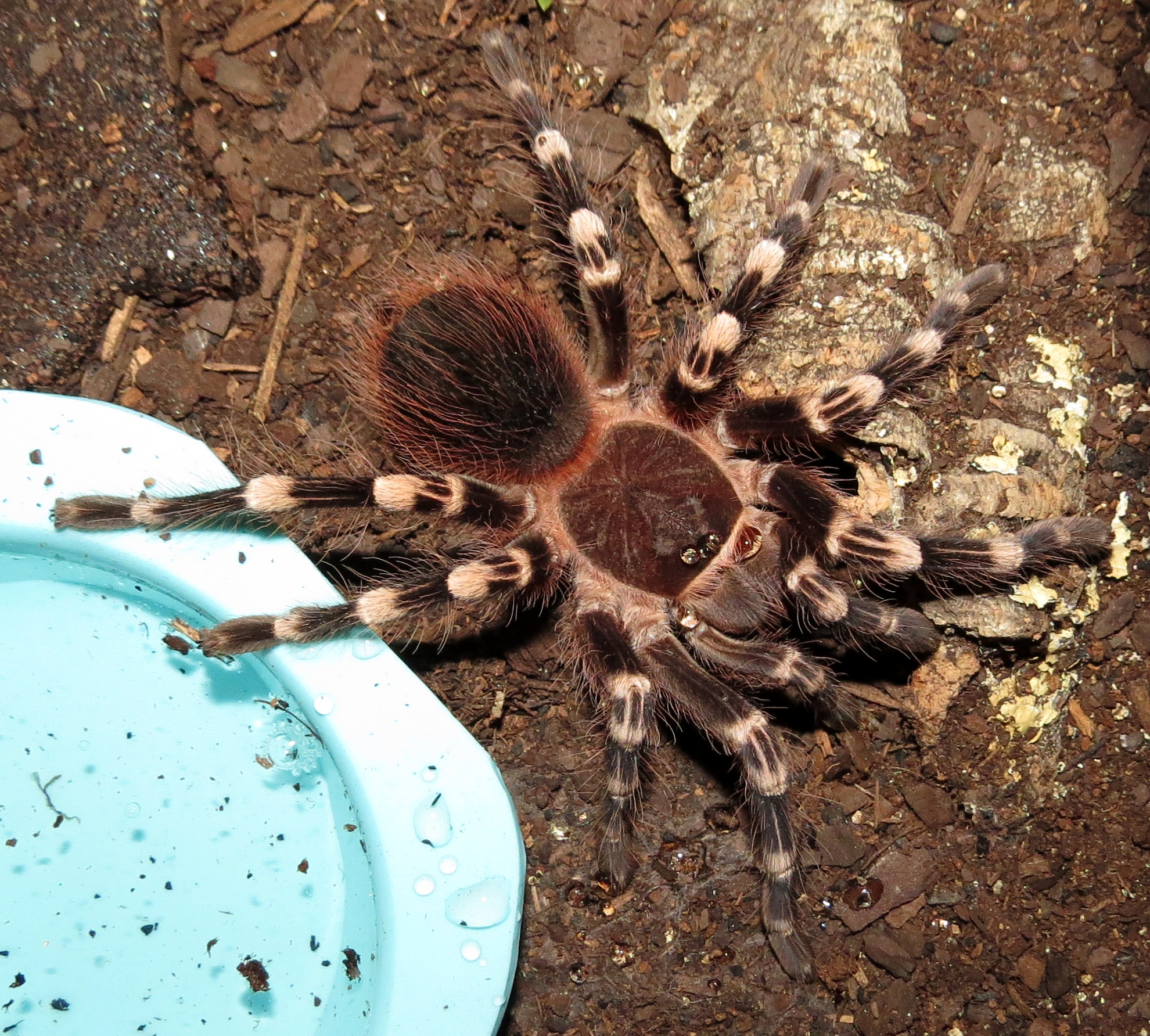 "He's Crying (♂ Acanthoscurria geniculata 3.75"")"