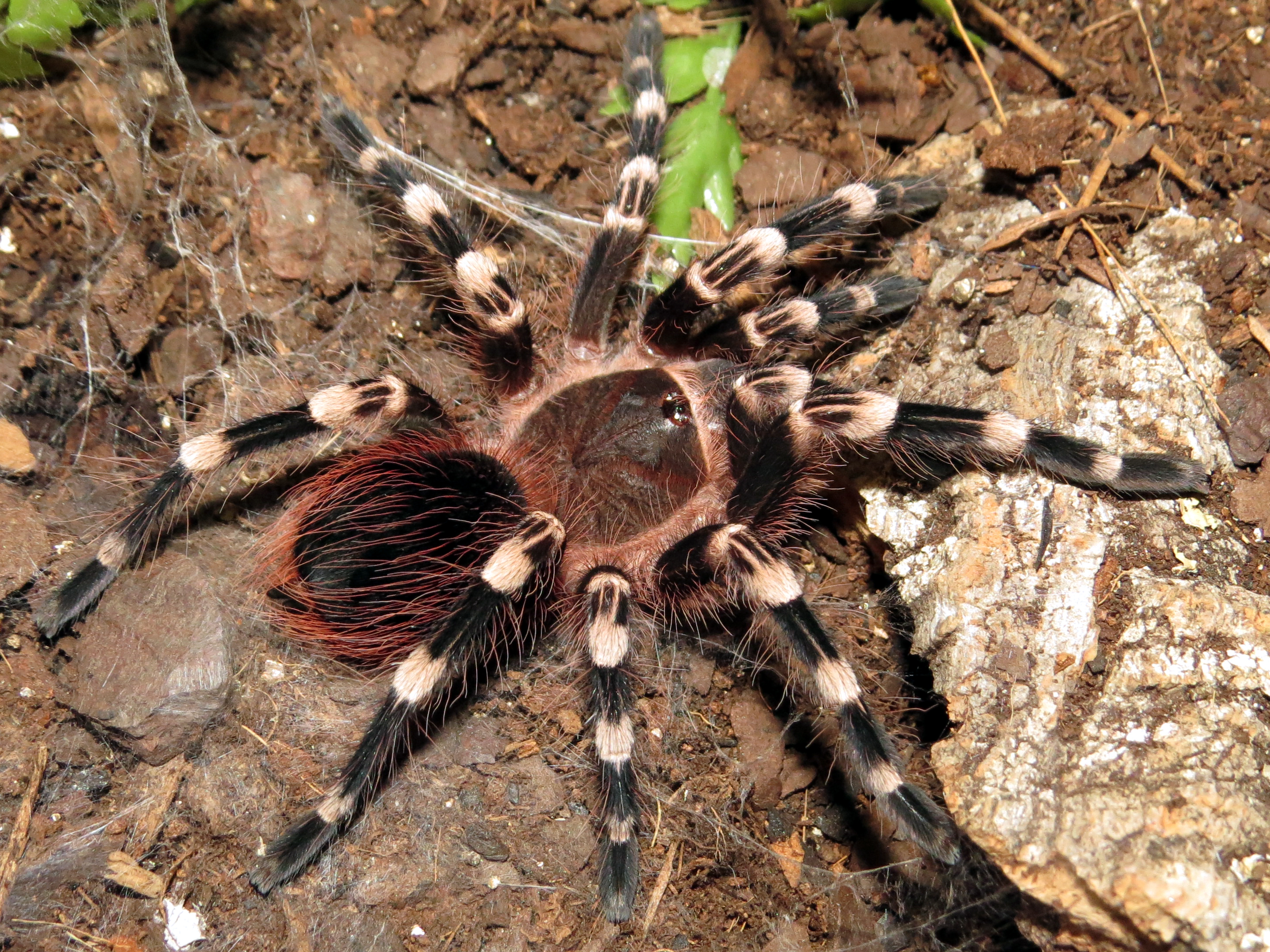 "His New Suit (♂ Acanthoscurria geniculata 3.5"")"