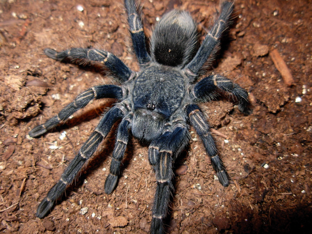 Homoeomma sp. blue