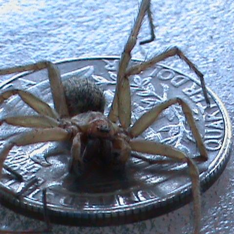 is this a hobo spider