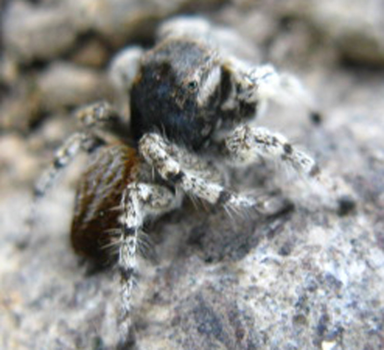 Jumping Spider At 10,000 Feet, Big Sam, High Imigrant Wilderness