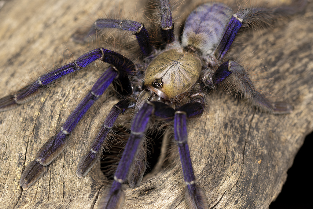 Lampropelma violaceopes - Mature Female