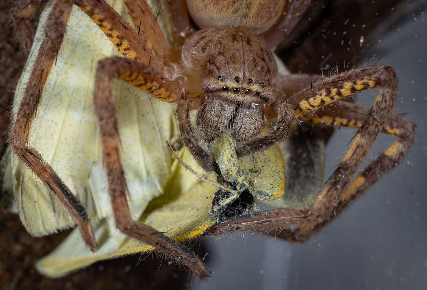 Lion Huntsman Spider eating Cabbage White Butterfly