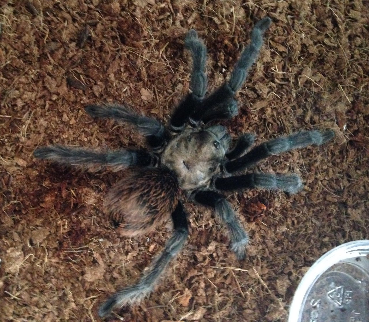MM Aphonopelma chalcodes