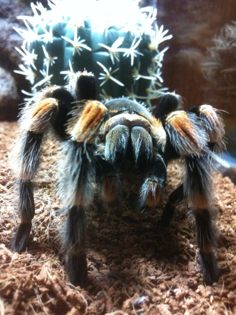 My B. Smithi Female 5.5