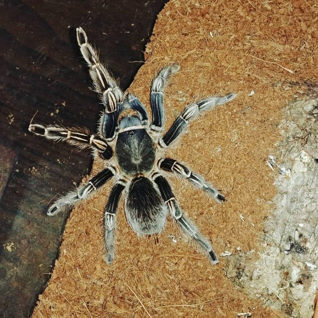 My new T Aphonopelma seemanni