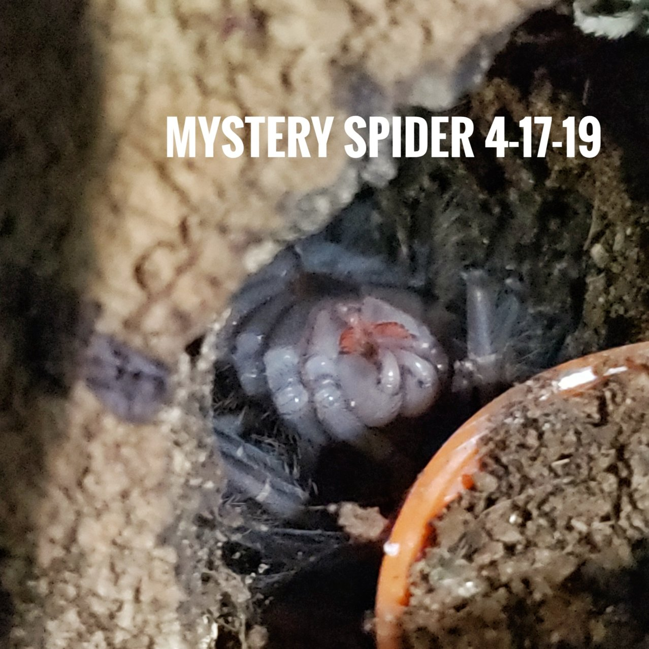 Mystery spider is finally molting