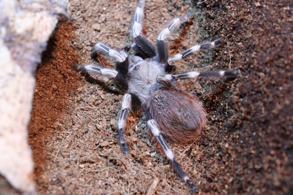 N. chromatus female