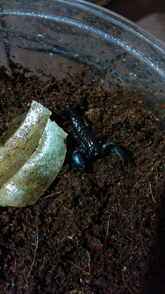 My Scorpion Babies | Arachnoboards