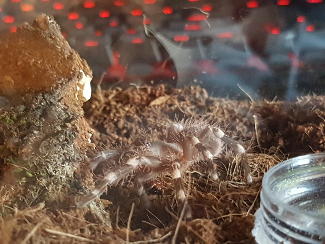 New addition, A. Geniculata