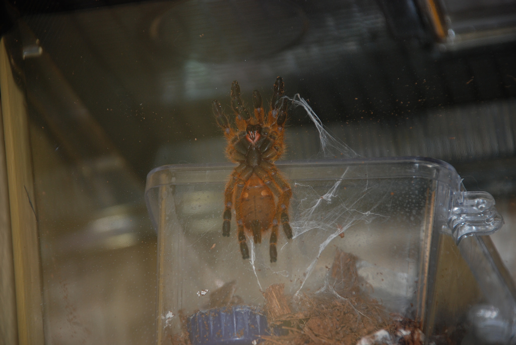Obt P. Murinus -- Male Of Female?