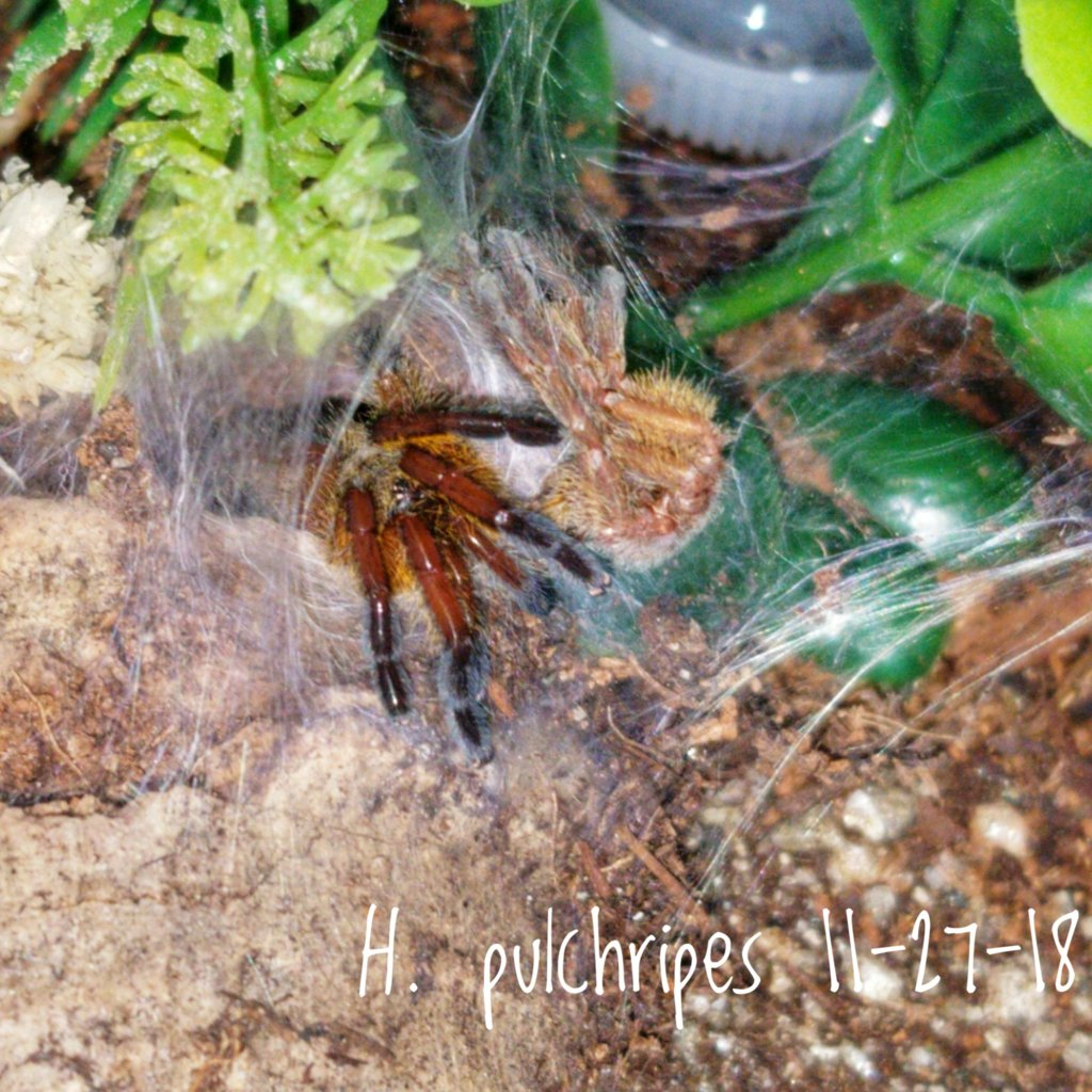 Older photo of H. Pulchripes